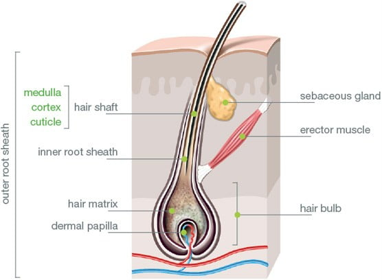 Human Hair Anatomy For Hair Shaft And Folliciles With Diagrams